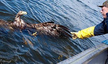 Niezwykła akcja ratunkowa. Wyciągnęli z Zalewu Szczecińskiego tonącego orła