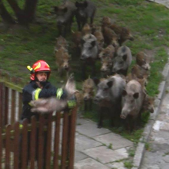 Małe dziczki zaklinowały się na placu zabaw! Na pomoc ruszyło całe stado! Zobacz niezwykłe zdjęcia!